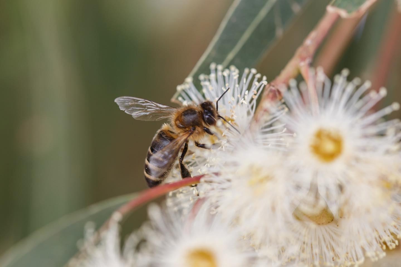 L' Apis Mellifera Sicula, una volta a rischio d'estinzione, oggi presidio Slow Food